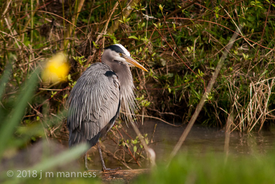 Great Blue Heron - Johnson Creek, Portland, Oreogn, 2018 GBH-30357