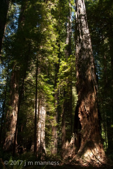 Redwoods-28806